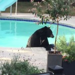 Bear Swimming in Backyard Pool
