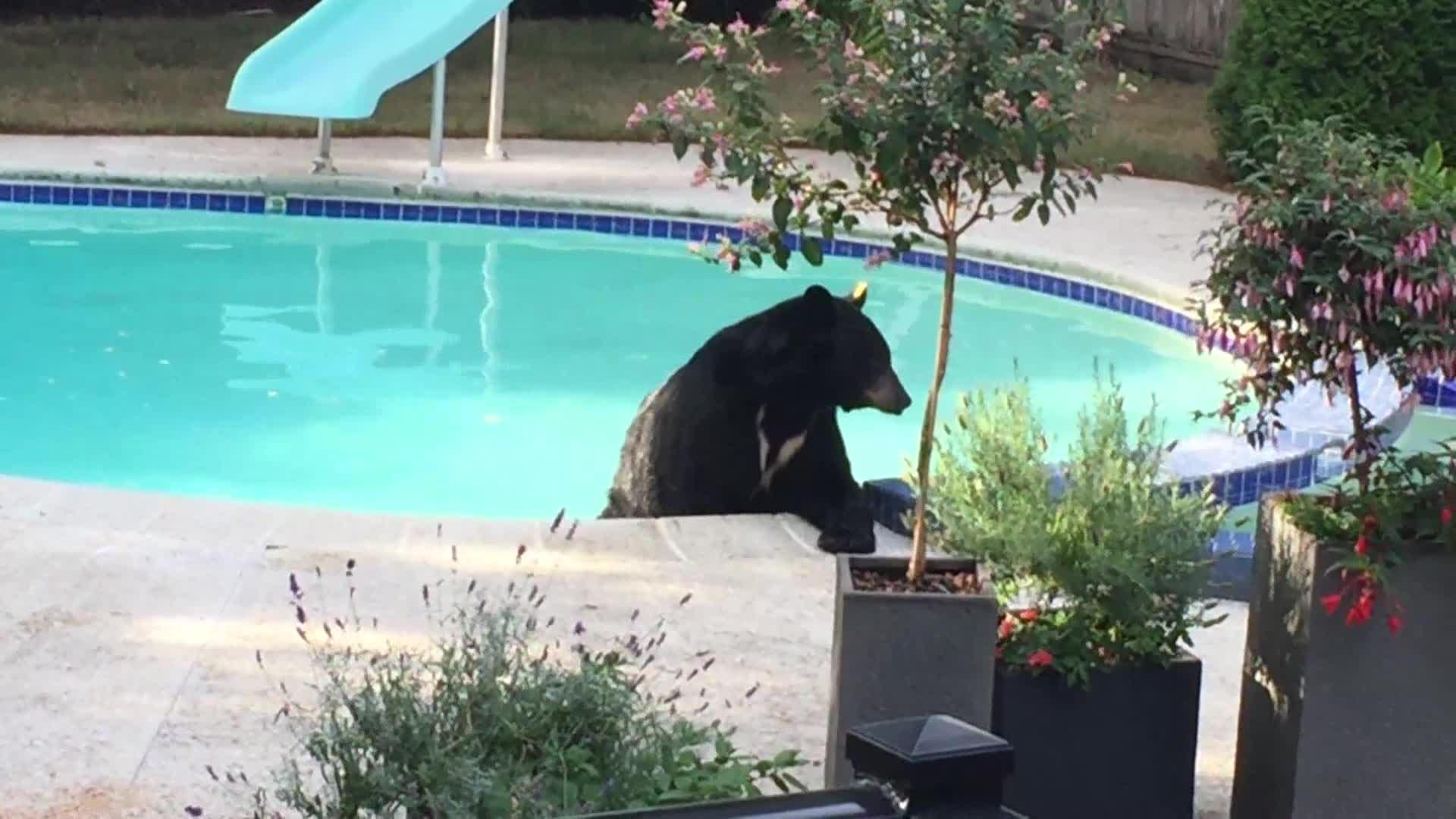Bear swimming in backyard pool backyard design ideas for Bears in swimming pool new jersey