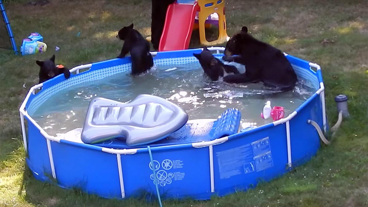 Bears Swimming in Backyard Pool